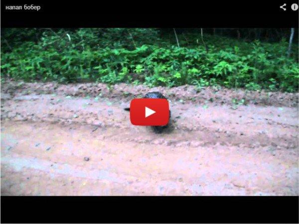 Напал бобёр - прикольное видео про грызуна