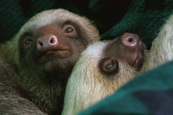 Фотографии ленивцев