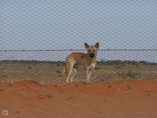 Забор Динго - прикольные сооружения Австралии