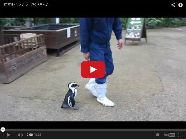 Влюбленная самка пингвина