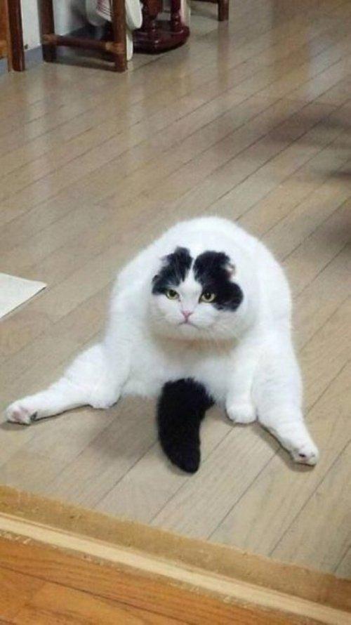 Фотожабы на пузатого кота
