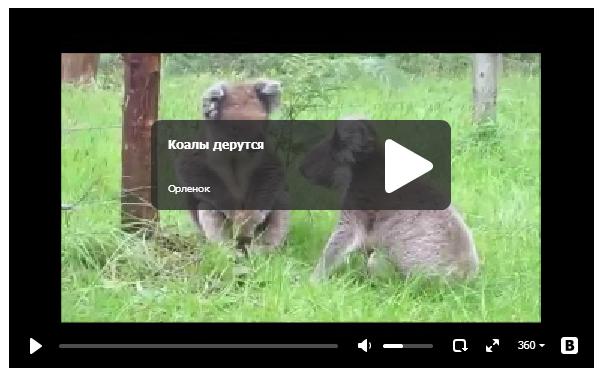 Коалы дерутся - смешное видео про животных
