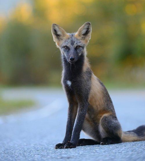 Самые красивые в мире лисицы