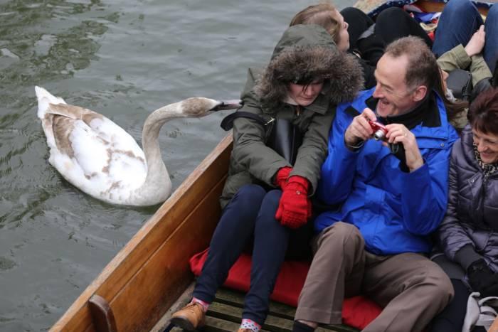 Лебедь-хулиган