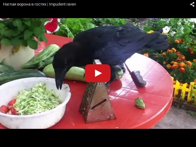 Нахальная ворона