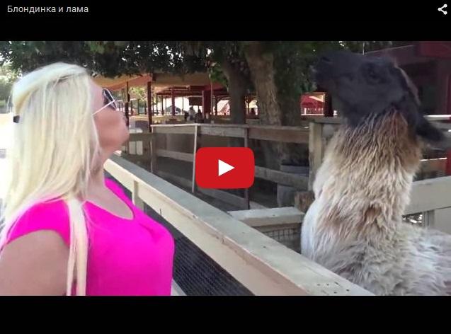 Блондинка против ламы. Смешное видео