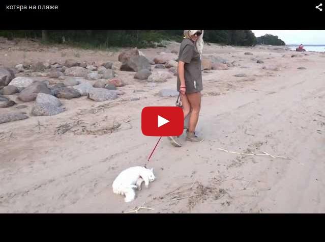 Ошалелого кота тащат на подводке по пляжу