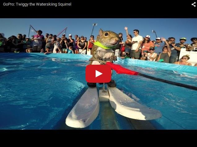 Дрессированный суслик катается в бассейне на водных лыжах