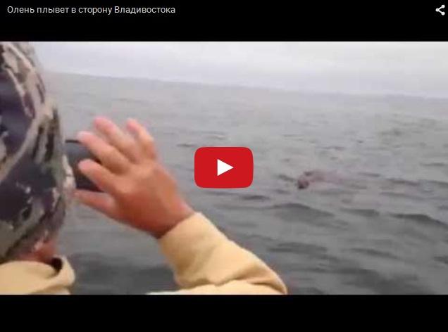 Бухта Владивостока - заблудившийся олень плывет в город