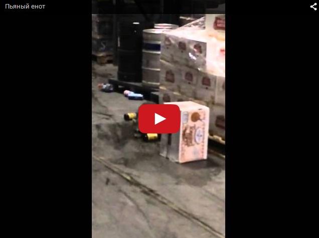 Пьяный енот на алкогольном складе