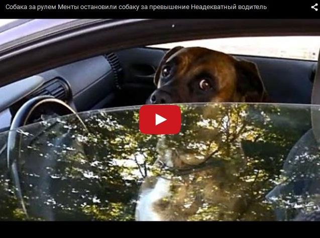 Собака за рулем или Неадекватный водитель
