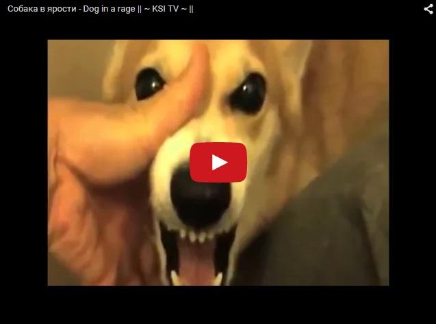 Злая собака в ярости