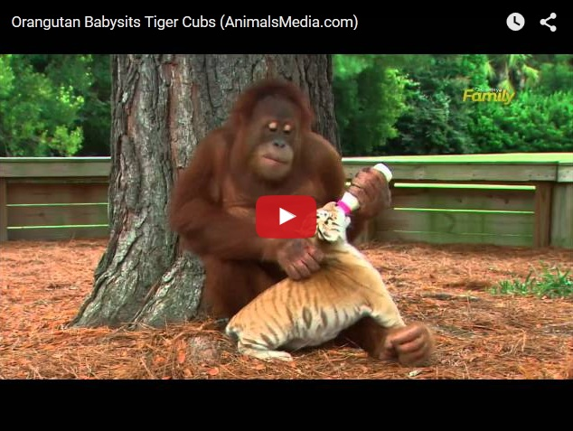 Заботливый папаша-орангутанг