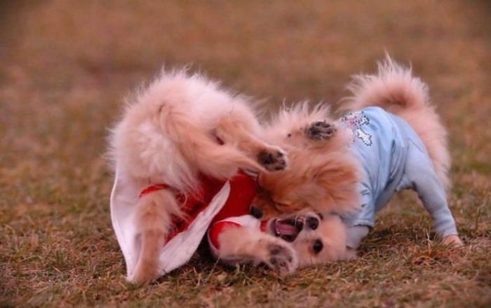 Бой милых собак. Про животных