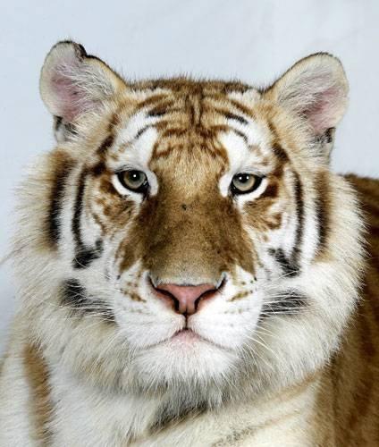 Красивые портреты тигров. Про животных
