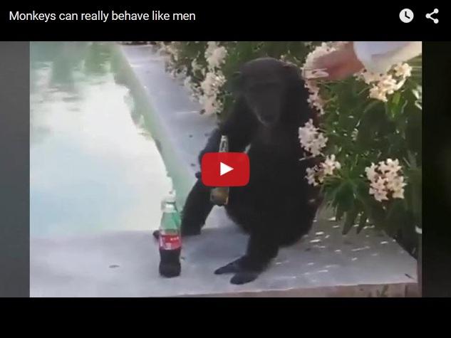 Видео про пьяную курящую обезьяну - настоящий мужик