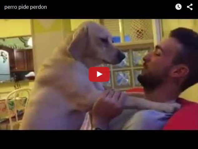 Как собаки просят прощения у хозяина