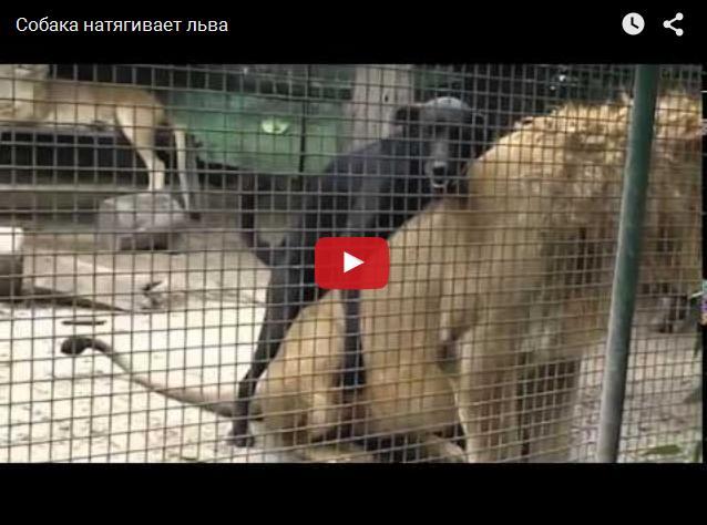 Изнасилование льва собакой