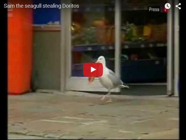 Как чайки воруют в магазинах
