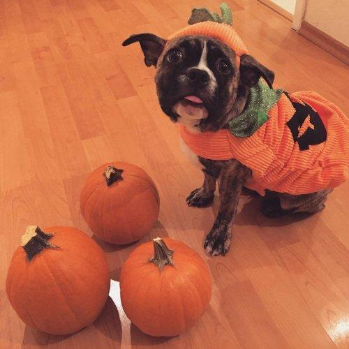 Весёлые костюмы питомцев на Хеллоуин