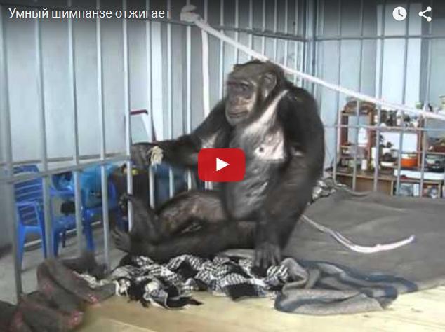Умная обезьяна отжигает