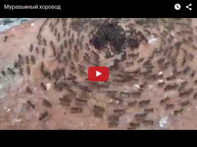Муравьи тоже умеют водить хороводы
