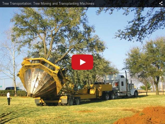 Как пересаживают большие деревья