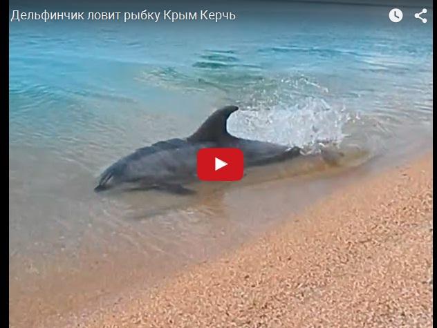 Умный дельфин рыбачит на мелководье в Крыму