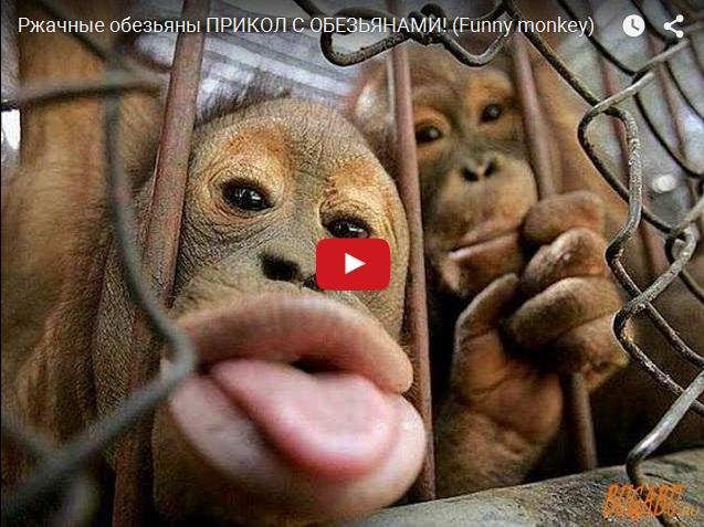 Подборка прикольного видео про обезьян. Смешные животные