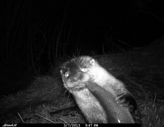 Убойные фото животных, сделанные на фотоловушки