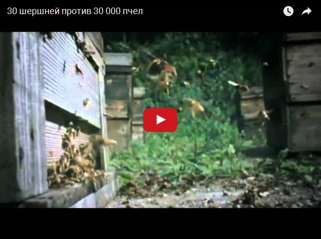 Битва 30 шершней против 30000 пчел