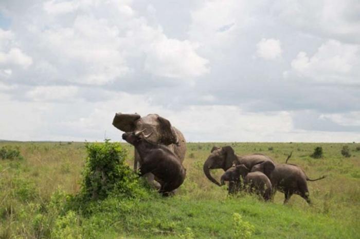 Встреча слона и буйвола