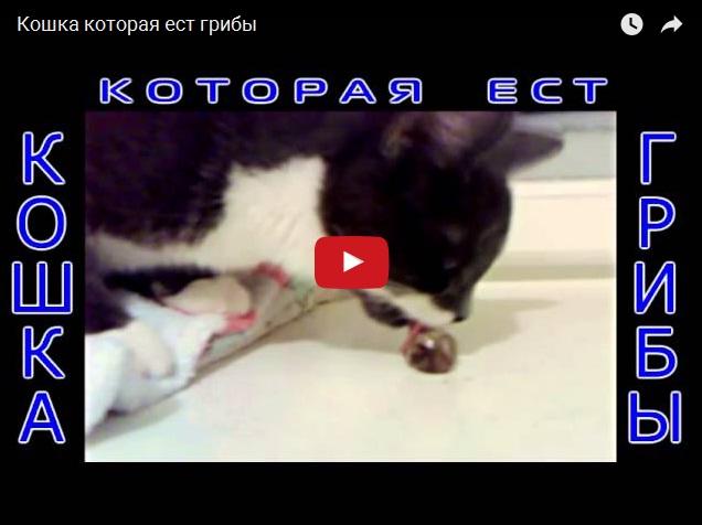 Кошка, употребляющая грибы