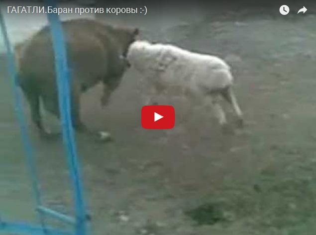 Кто кого - баран против коровы