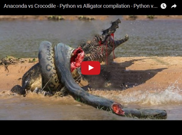 Анаконда против крокодила - жуткое видео
