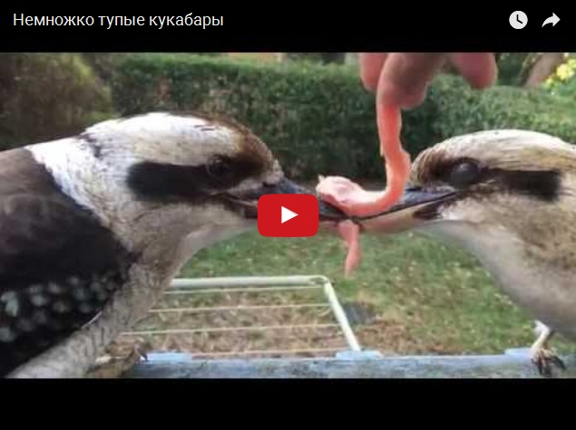 Две тупые птицы не могут поделить кусок мяса