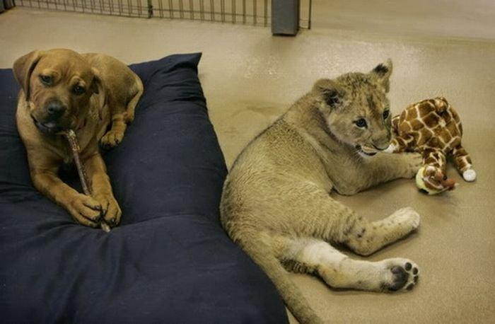 Лучшие друзья: лев и собака