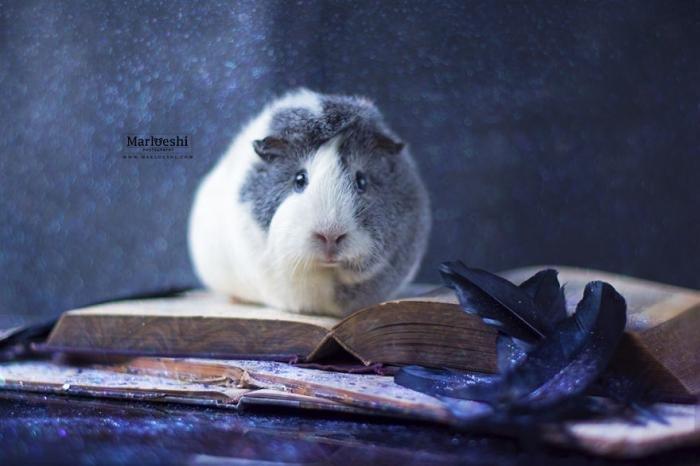 Фотогеничная морская свинка