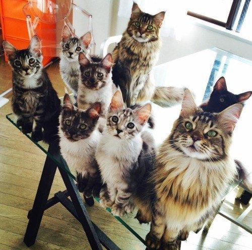 Кошки-перфекционисты. Прикольные фотки