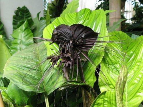 Экзотический цветок Такка. Красивые картинки