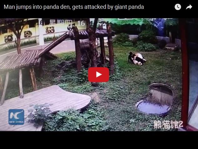 Нападение панды на служителя зоопарка