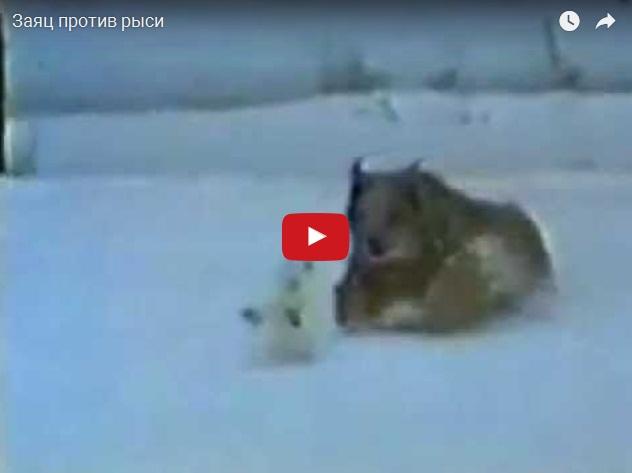 Заяц против рыси - кто кого?