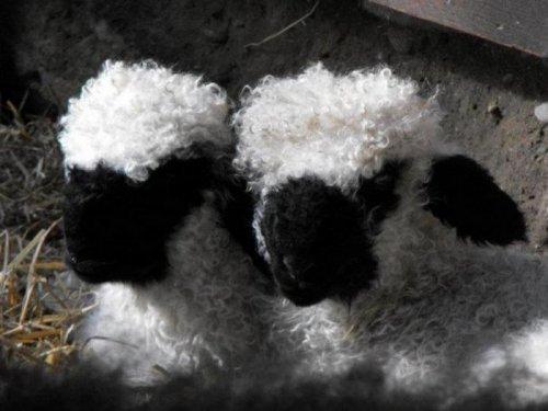 Прикольные фотографии овечек. Смешные животные