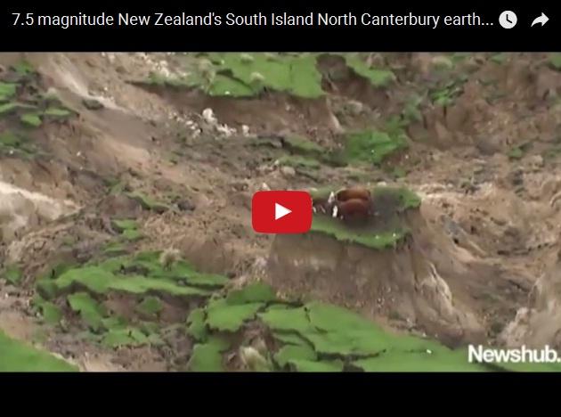 Коровы против землетрясения в Новой Зеландии