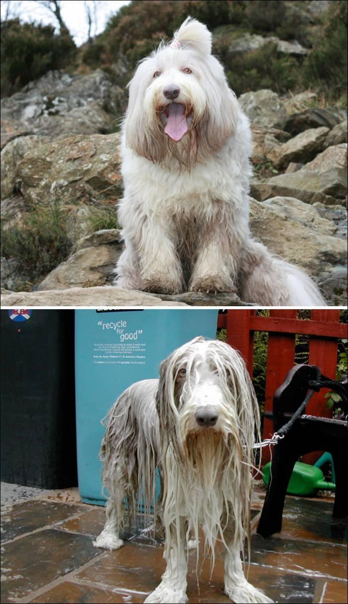Собаки в душе - до и после