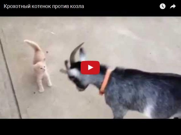Маленький котенок против большого козла