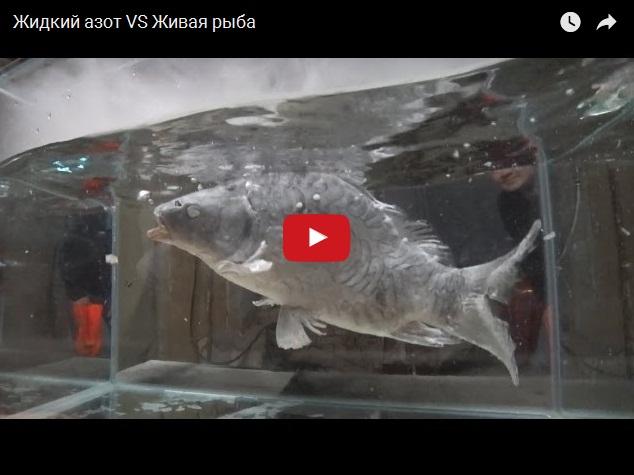 Придурки, живая рыба и жидкий азот - дурацкий эксперимент