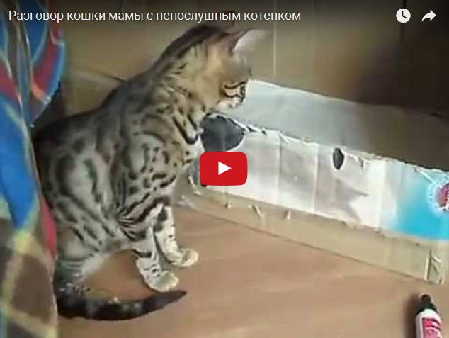 Кошка-мама разговаривает с непослушным котенком