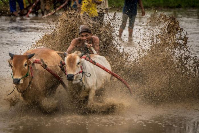 Традиционные гонки на быках в Азии