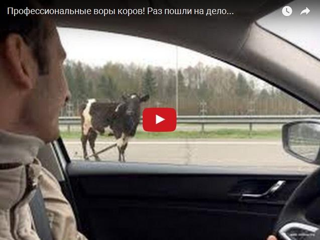 Ржака дня - профессиональные воры коров